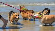 Photo Gallery: SoCal Corgi Beach Day