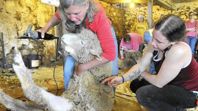 Maryland Sheep Breeders host Shearing School