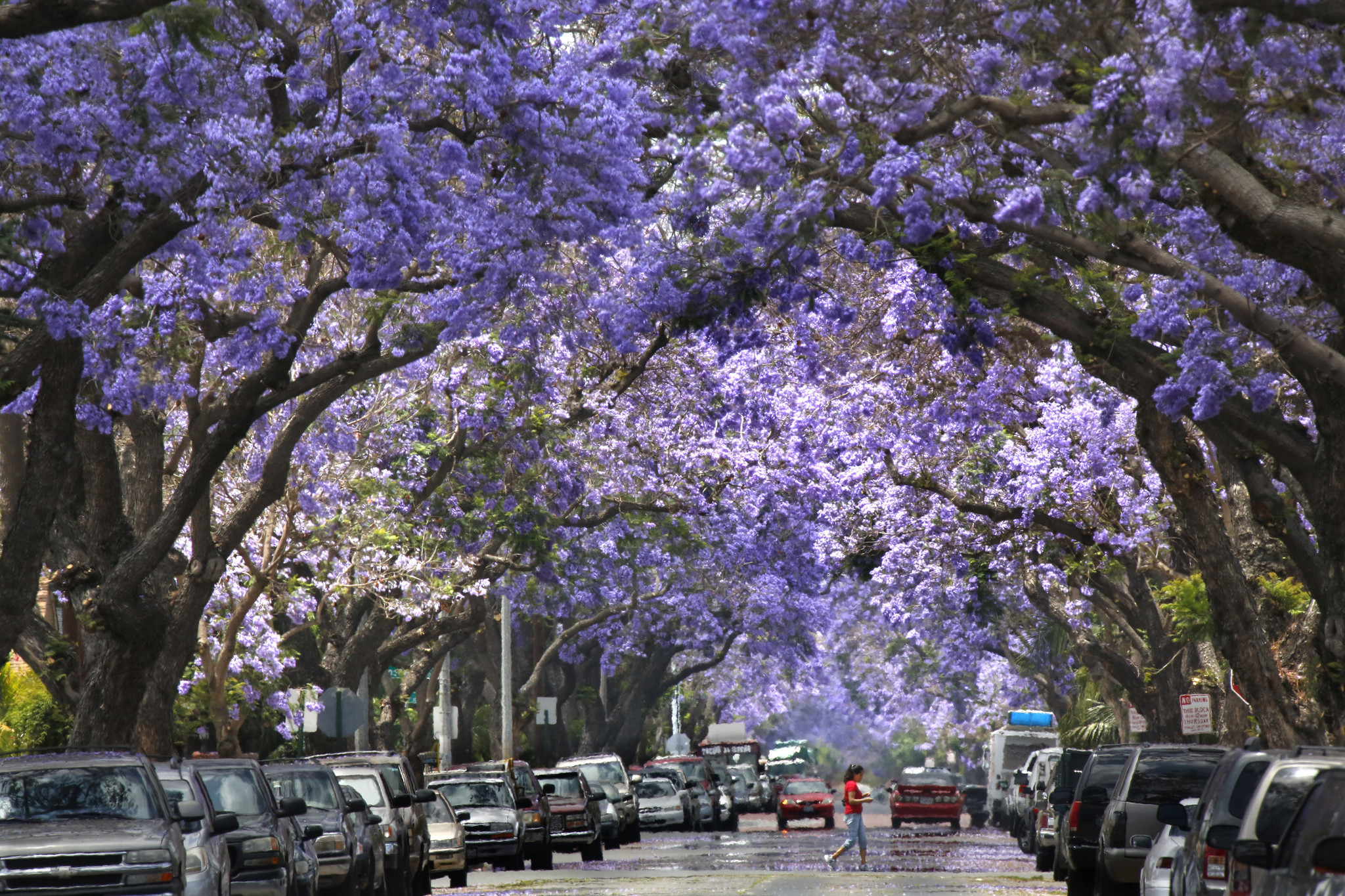 Jacarandas: You either love them or hate them - LA Times