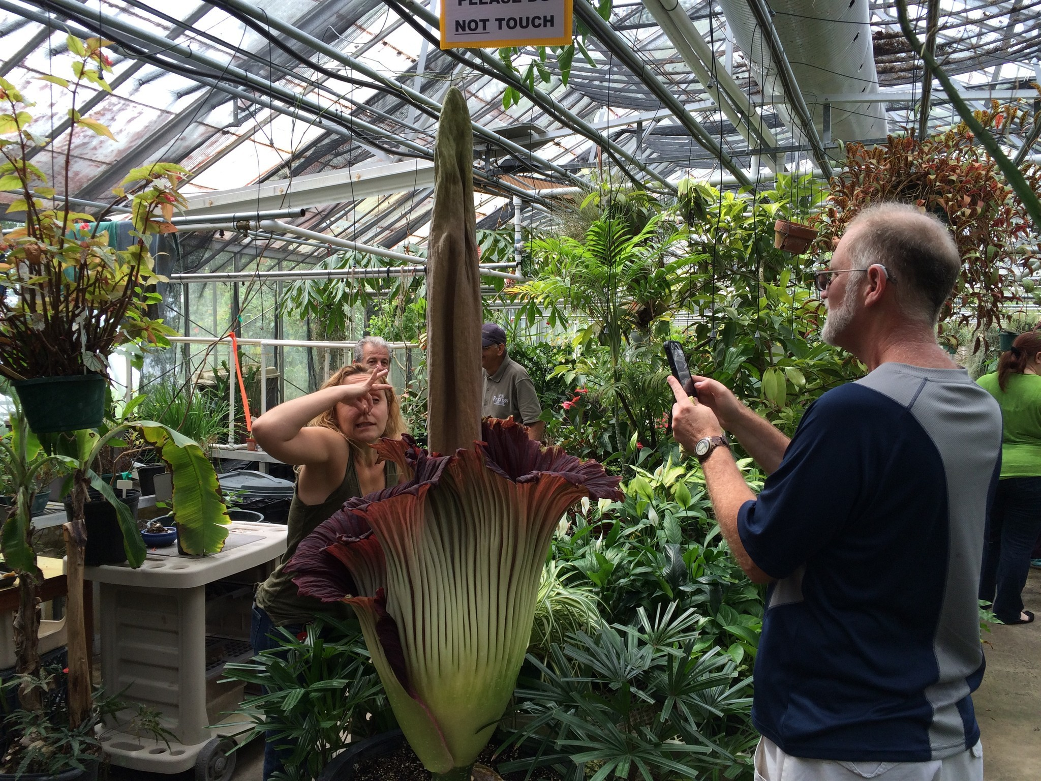 Corpse Plant blooming for a limited time at Rollins greenhouse Hoy