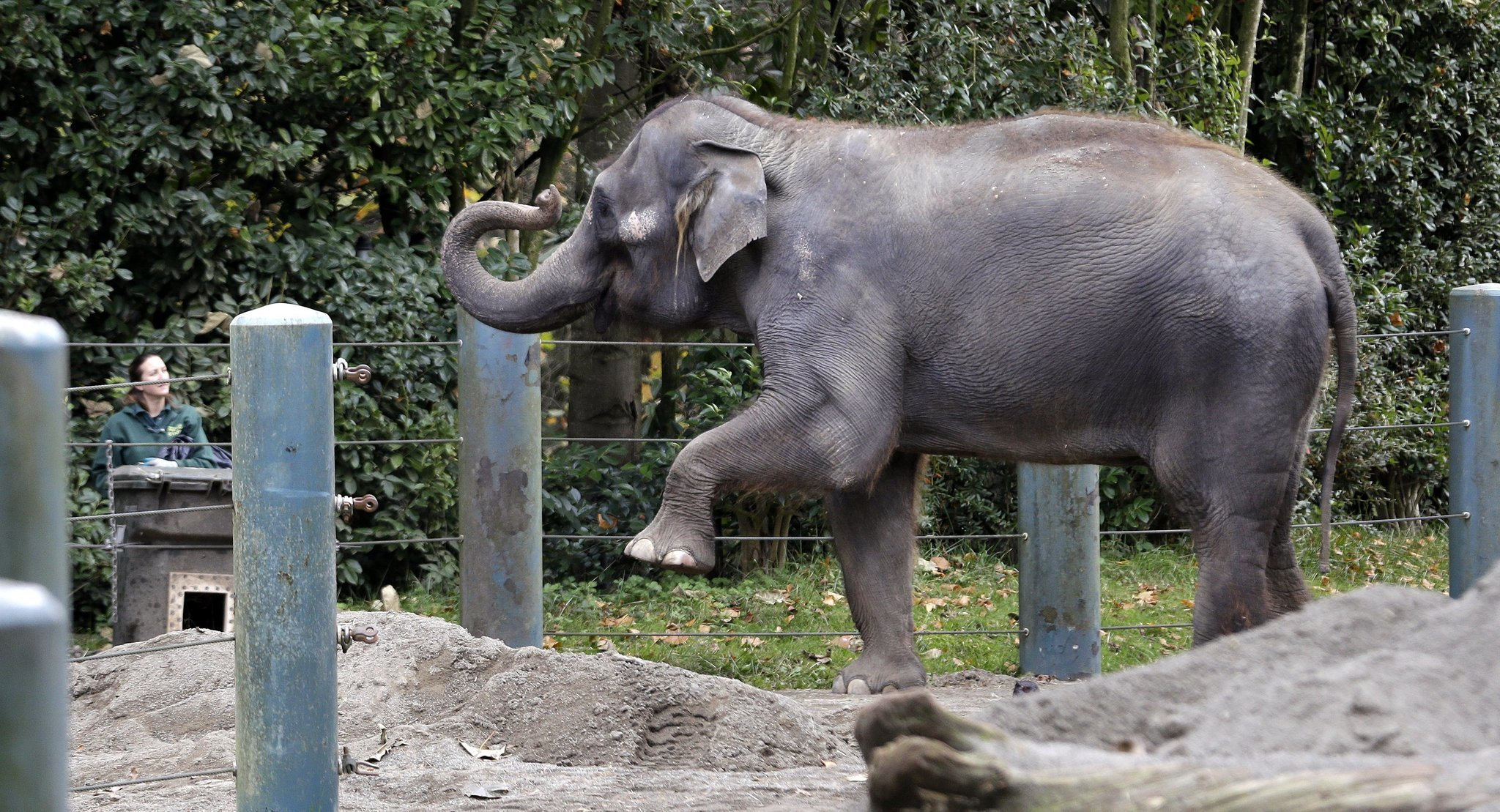 seattle elephants resting  u0026 39 in comfort u0026 39  at san diego zoo