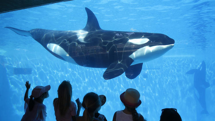 Sea World announced it would stop breeding orcas in March. (Don Bartletti / Los Angeles Times)