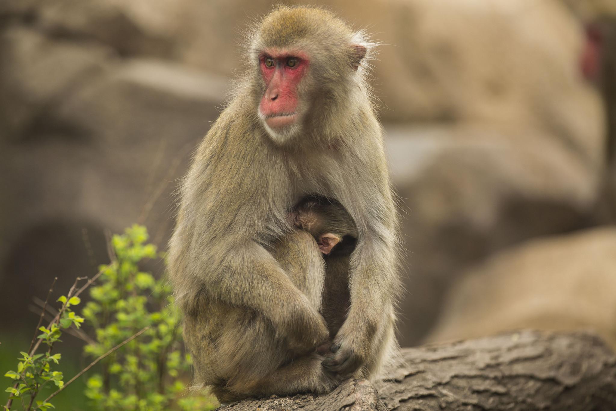 Monkey Kingdom Baby Monkey Baby Snow Monkey is Born at
