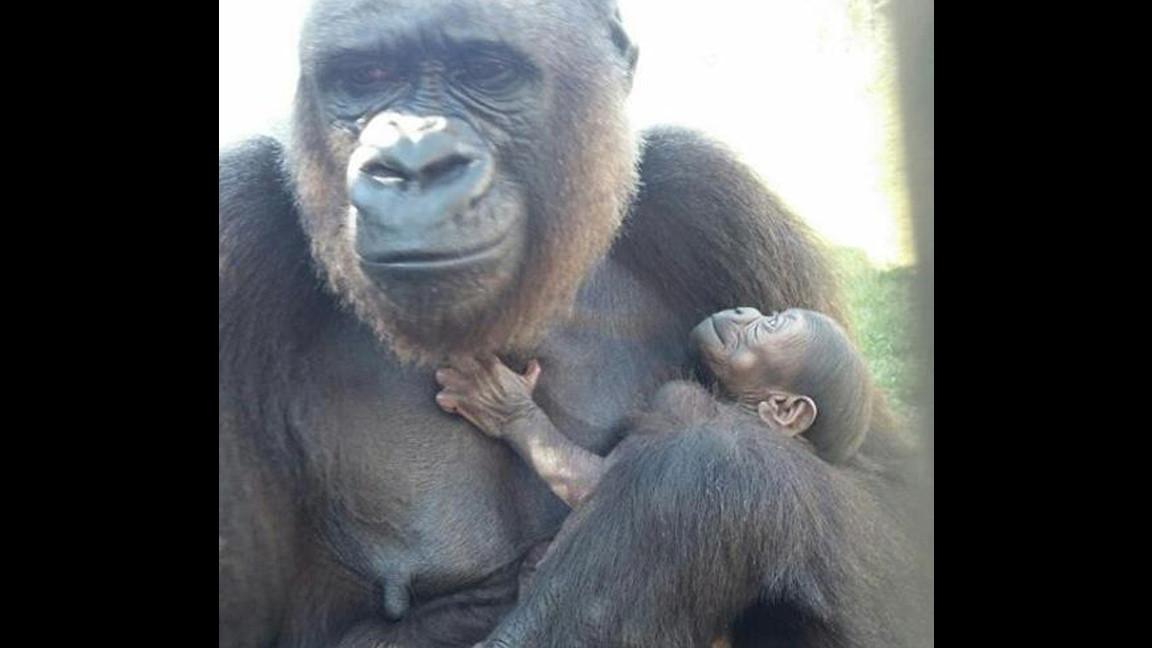 Baby Gorilla Born At The Jacksonville Zoo Orlando Sentinel