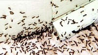 Insects swarming  toward homes because of drought