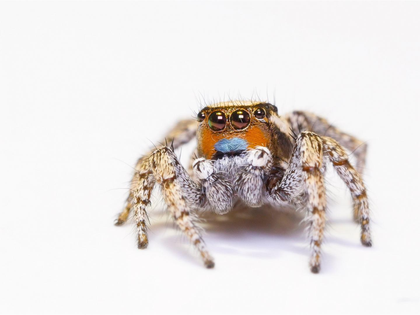how do these jumping spiders see color the secret is in their eyes la times
