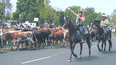 OC Fair bringing back its cattle drive this summer