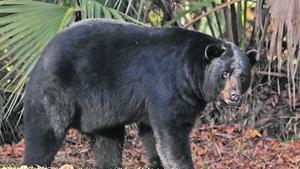 Central Florida bear population rises, new data show