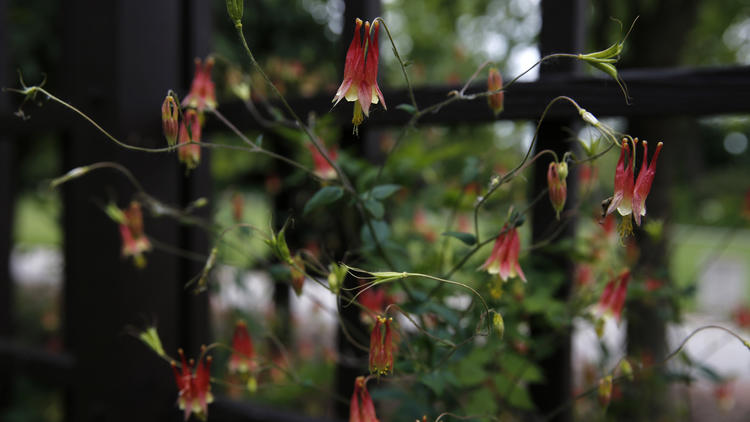 Osaka Garden columbine