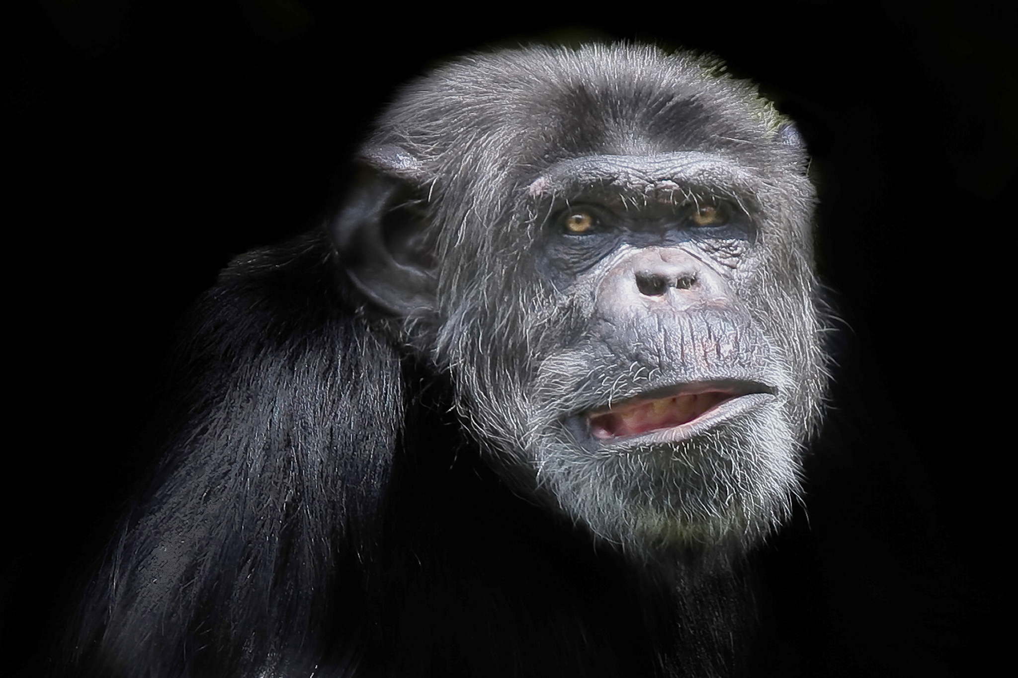 New rules could end use of chimps in medical research