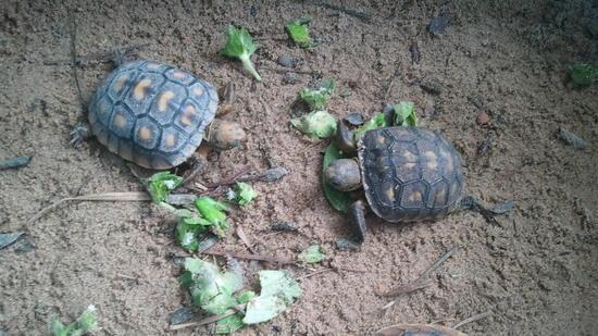 File photo: Gopher tortoise rescue