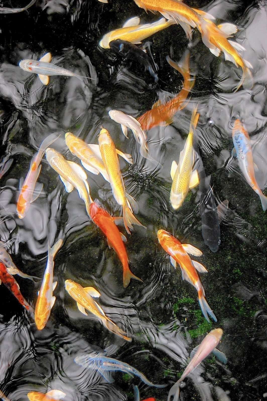 Aquatic water gardens what is the difference between a for Koi gazette