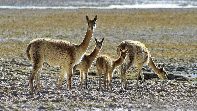 High demand for luxury wool prompts poachers to slaughter vicunas - LA Times