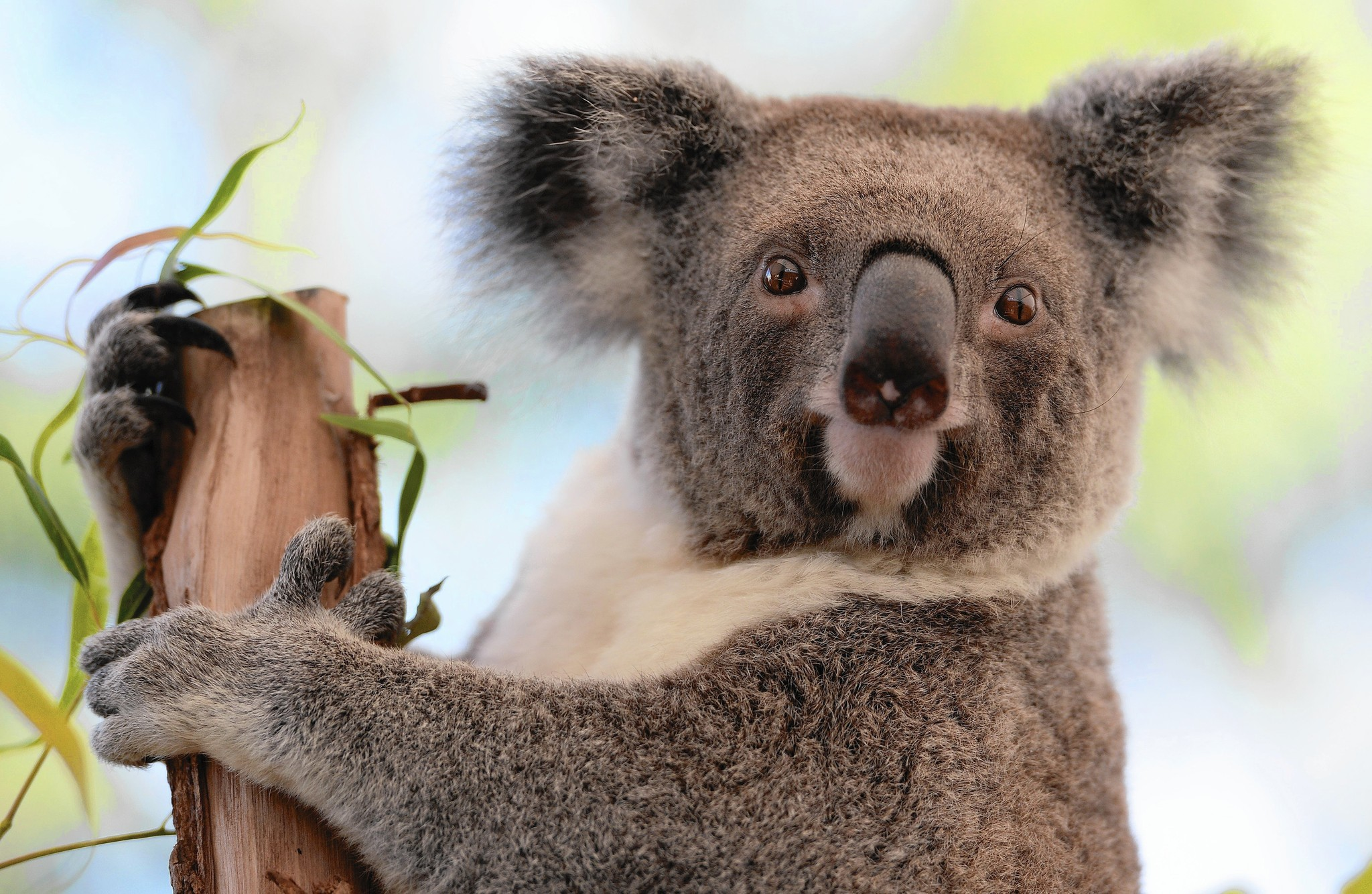 koala study sheds light on their surprising mating habits koala study sheds light on their surprising mating habits chicago tribune