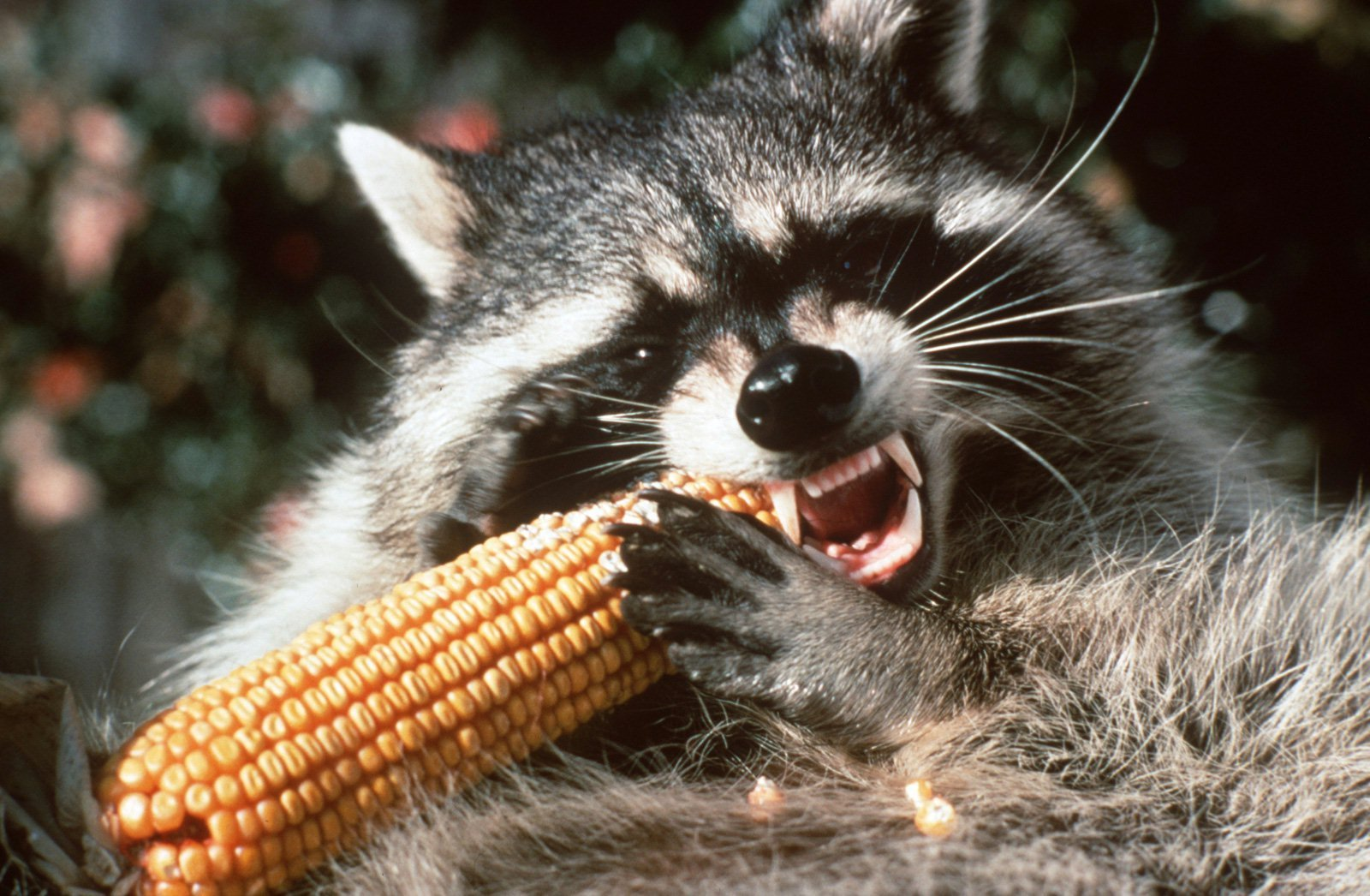 Raccoon 'tossed' from vehicle tests positive for rabies ... Raccoon With Rabies