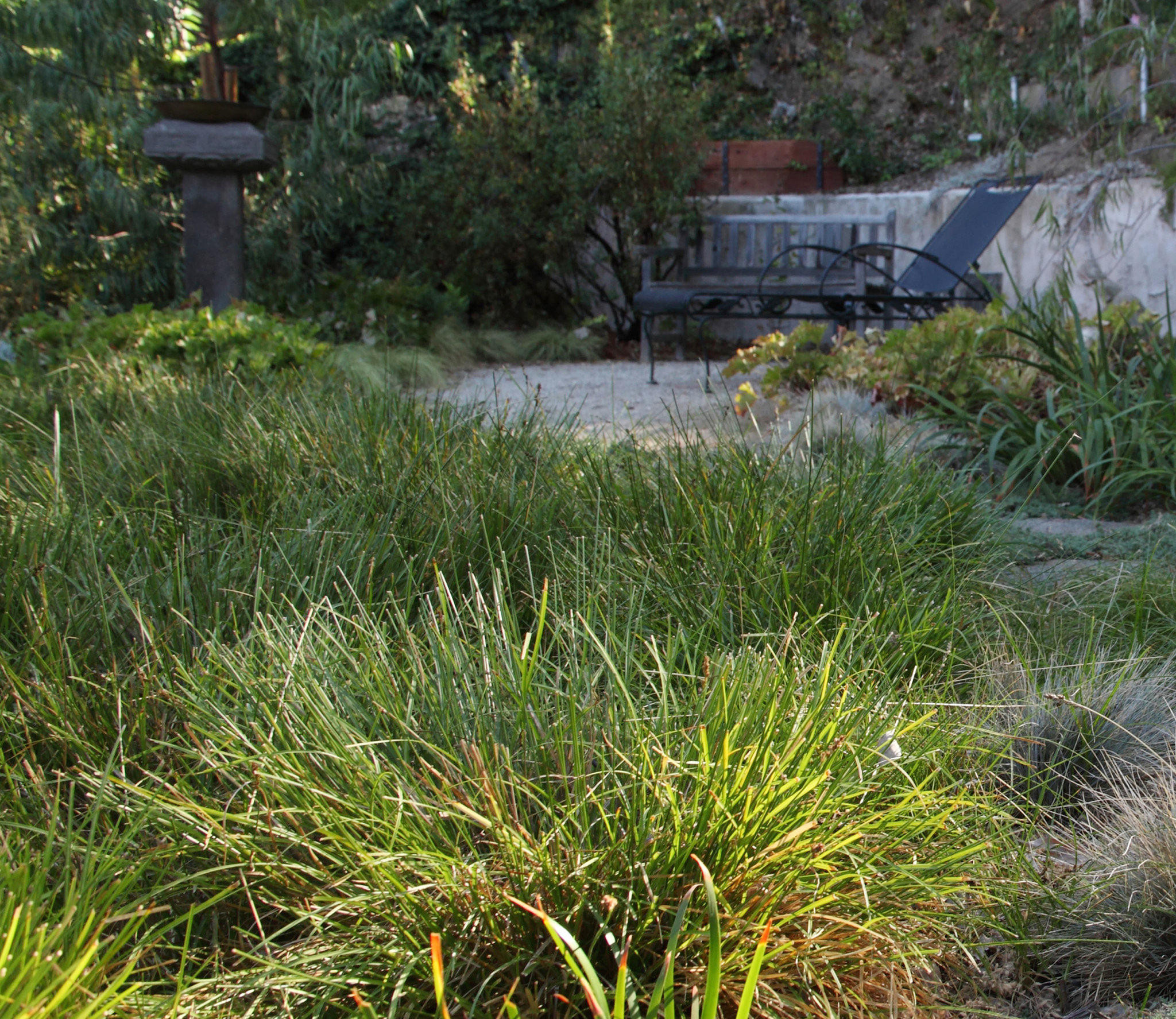 FormLA Founder And Garden Designer Cassy Aoyagi Recommends Dune Sedge As A Lawn  Substitute. The Plant Is A California Native That Mimics The Look Of ...