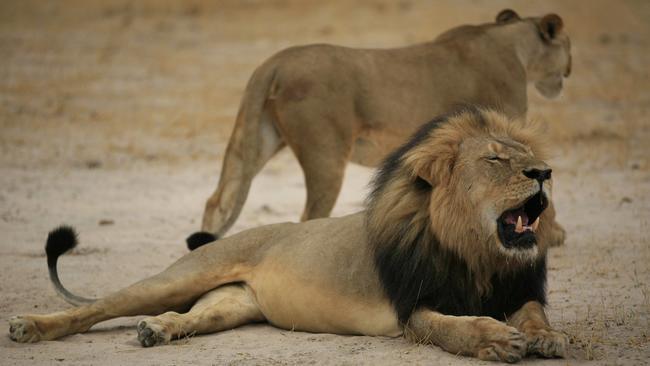 http://www.trbimg.com/img-55b7c71e/turbine/ct-video-us-hunter-accused-of-killing-beloved-zimbabwean-lion-cecil-20150728/650/650x366