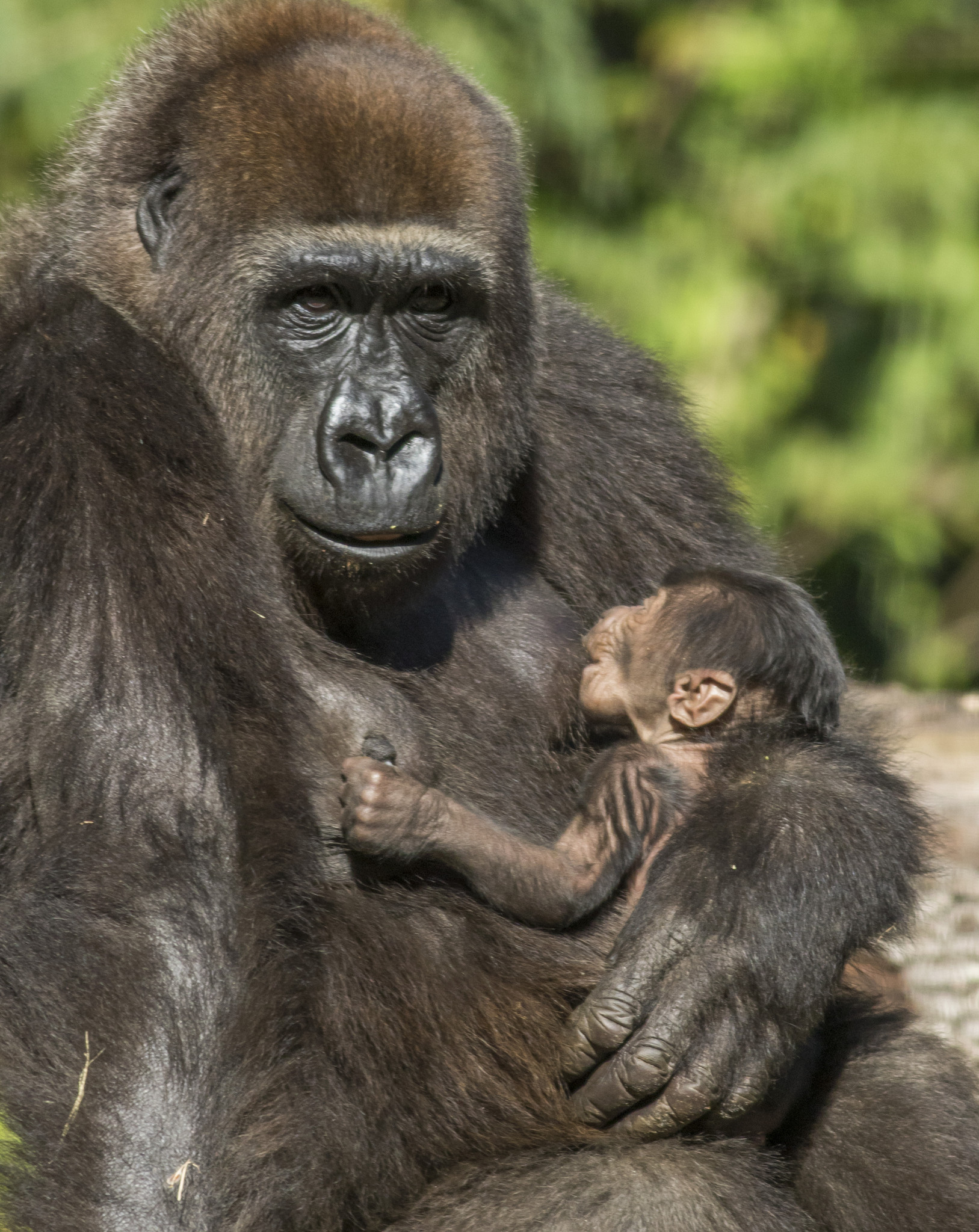 center for great apes in rural hardee county offering primate 101