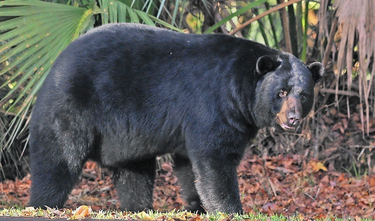 Florida bear hunt license sale orlando sentinel for How much is a non resident fishing license in florida
