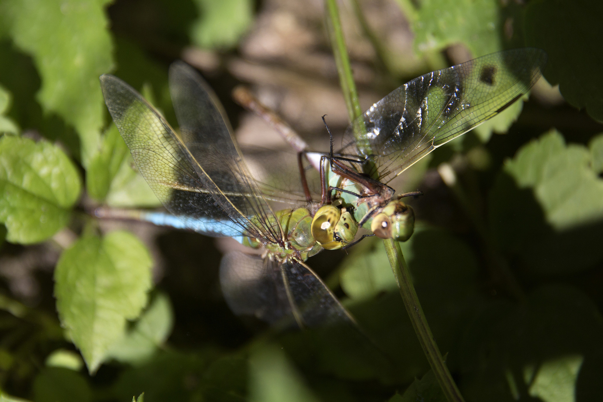 a swarming spectacle  rains bring boom year for lakefront dragonflies
