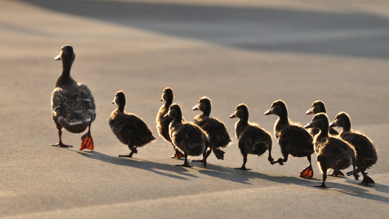 professor says don u0027t brake for ducks crossing the road hartford