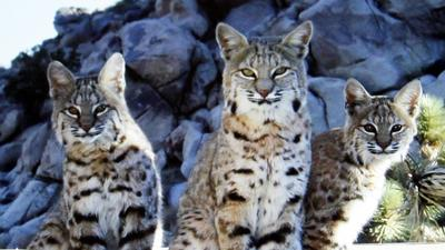 California bans bobcat trapping--good news for cats, bad for rodents