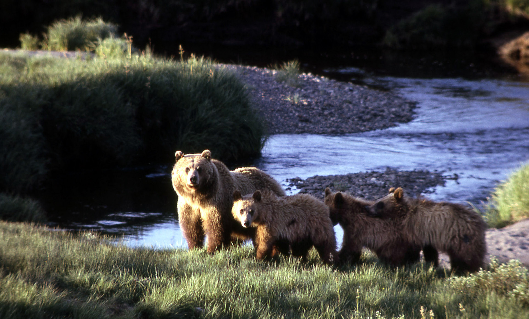 Grizzly Bear That Killed Yellowstone Hiker Euthanized Officials - Us national parks yellowstone