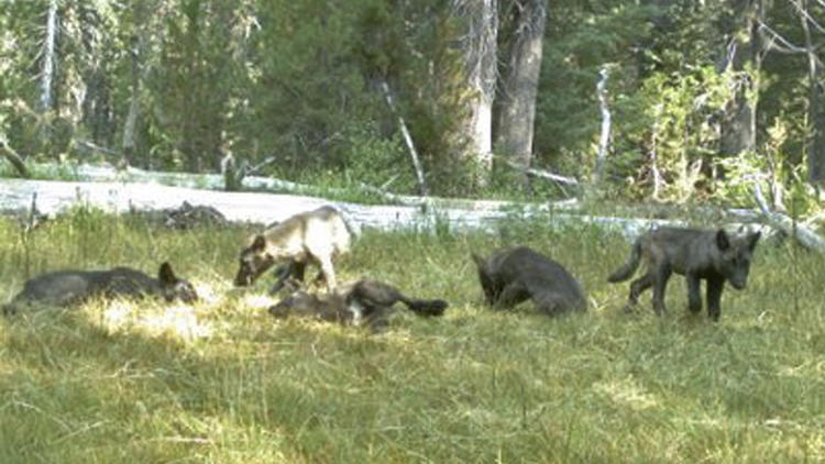 Five gray wolf pups captured on a trail camera in Northern California in early August are members of the first established pack in the state in decades.