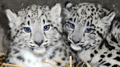 Snow leopard cubs born at Brookfield Zoo - Chicago Tribune Leopard Cubs With Mother