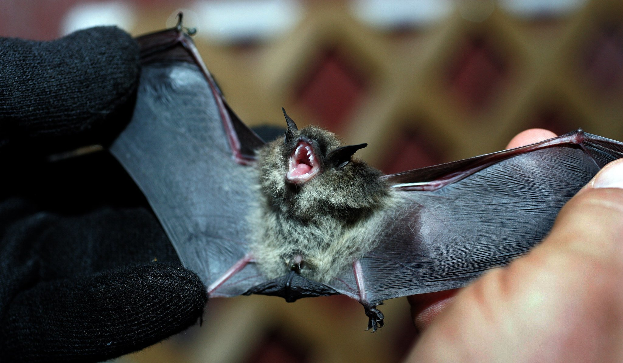 Will County Sets Record For Rabid Bat Cases Daily Southtown