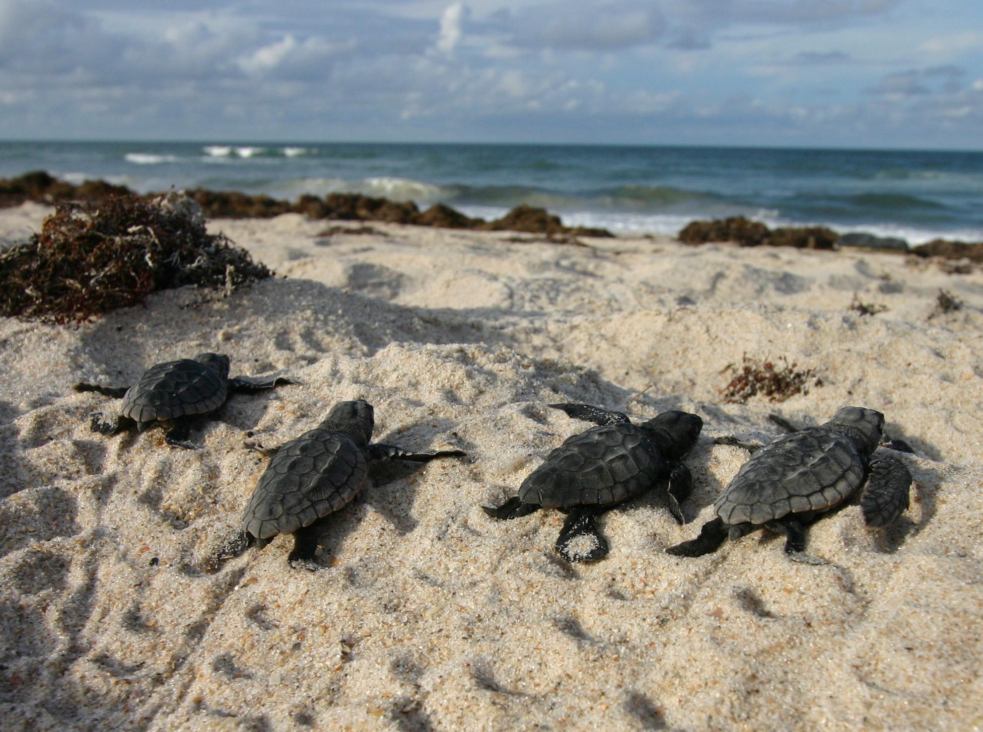 Sea Turtles in Georgia Sea Turtles Set New Nesting