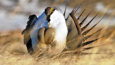 Unlikely allies are joining the quest to save the imperiled sage grouse