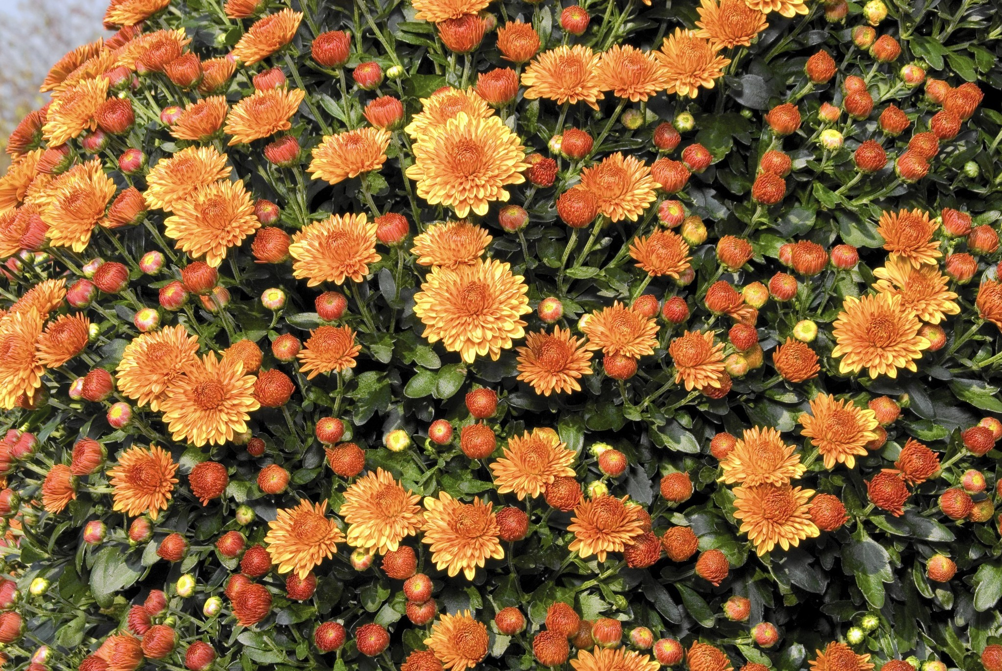 planting garden mums getting the most bloom for your buck