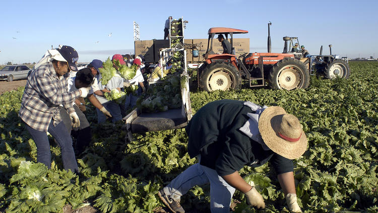Lettuce pickers work in a field in the Imperial Valley. (Tim Tadder/Associated Press)