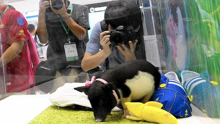 Micro pigs in China