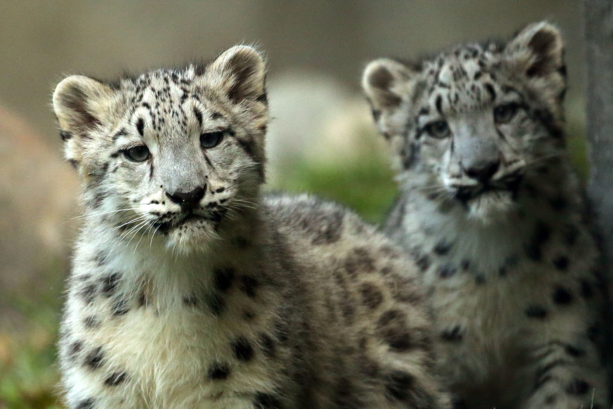 Photo Gallery Baby Snow Leopards At Brookfield Zoo