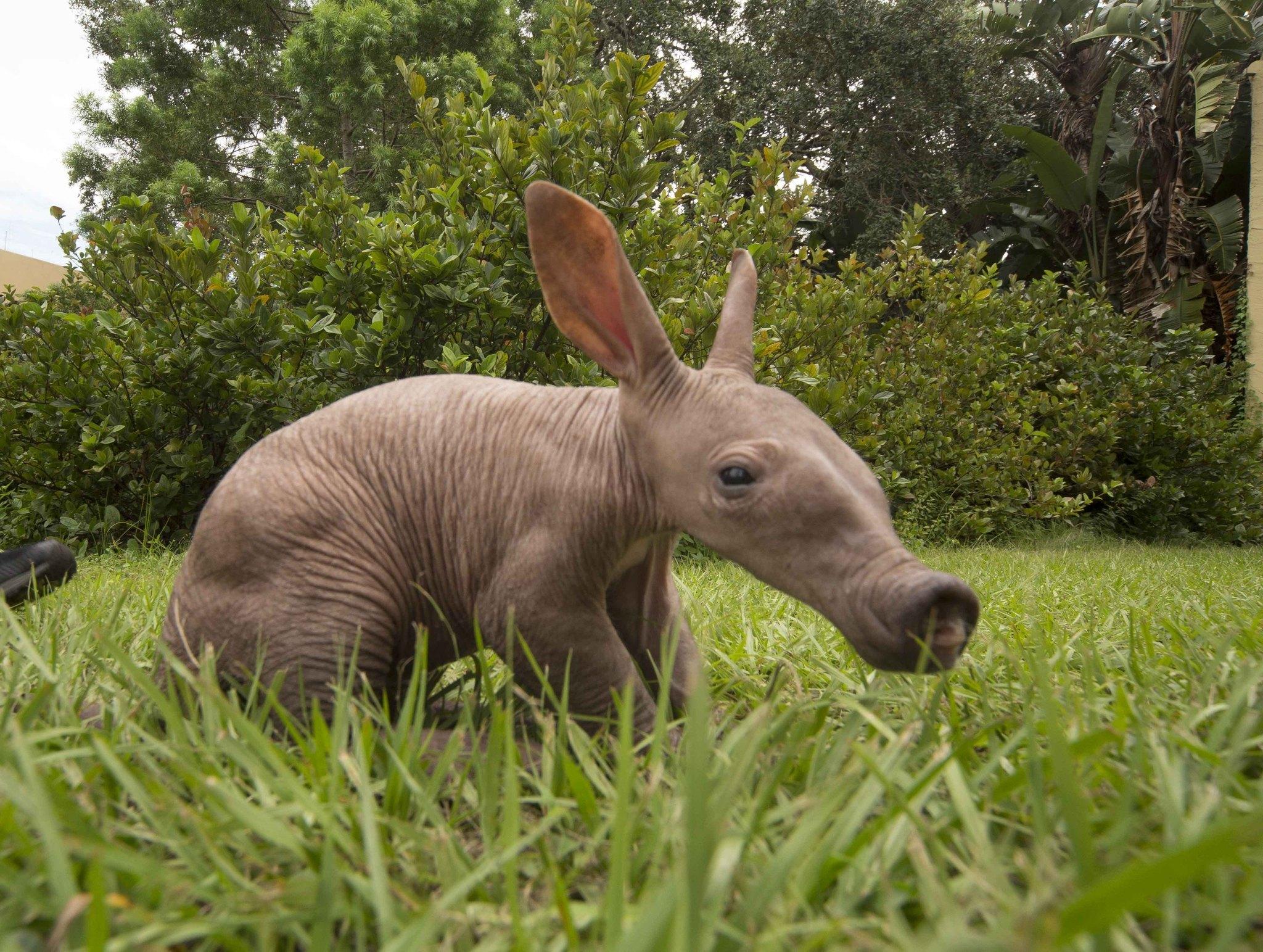 Baby aardvark born at Busch Gardens in Tampa - Orlando Sentinel
