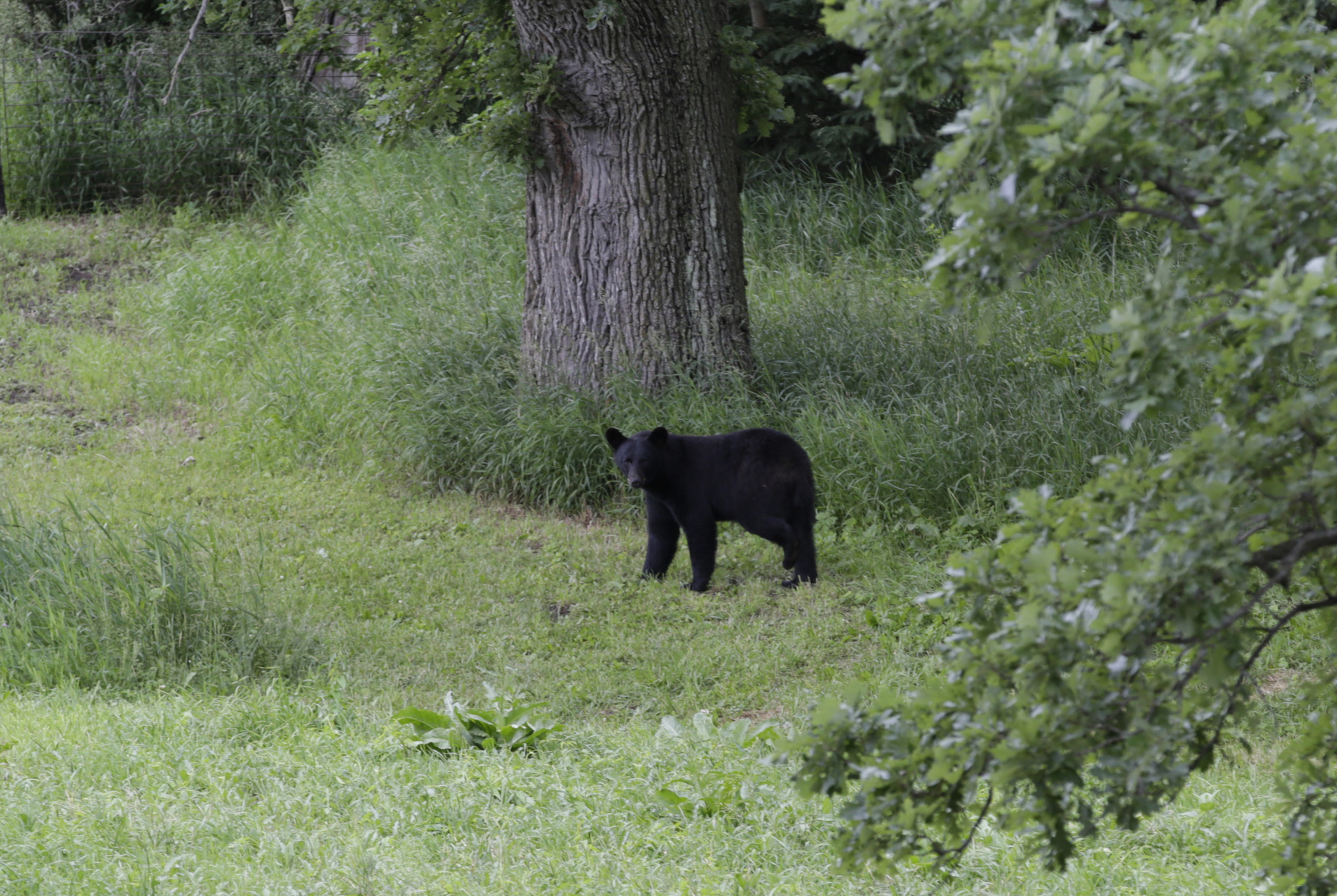 Black bear that visited Indiana this summer returns to