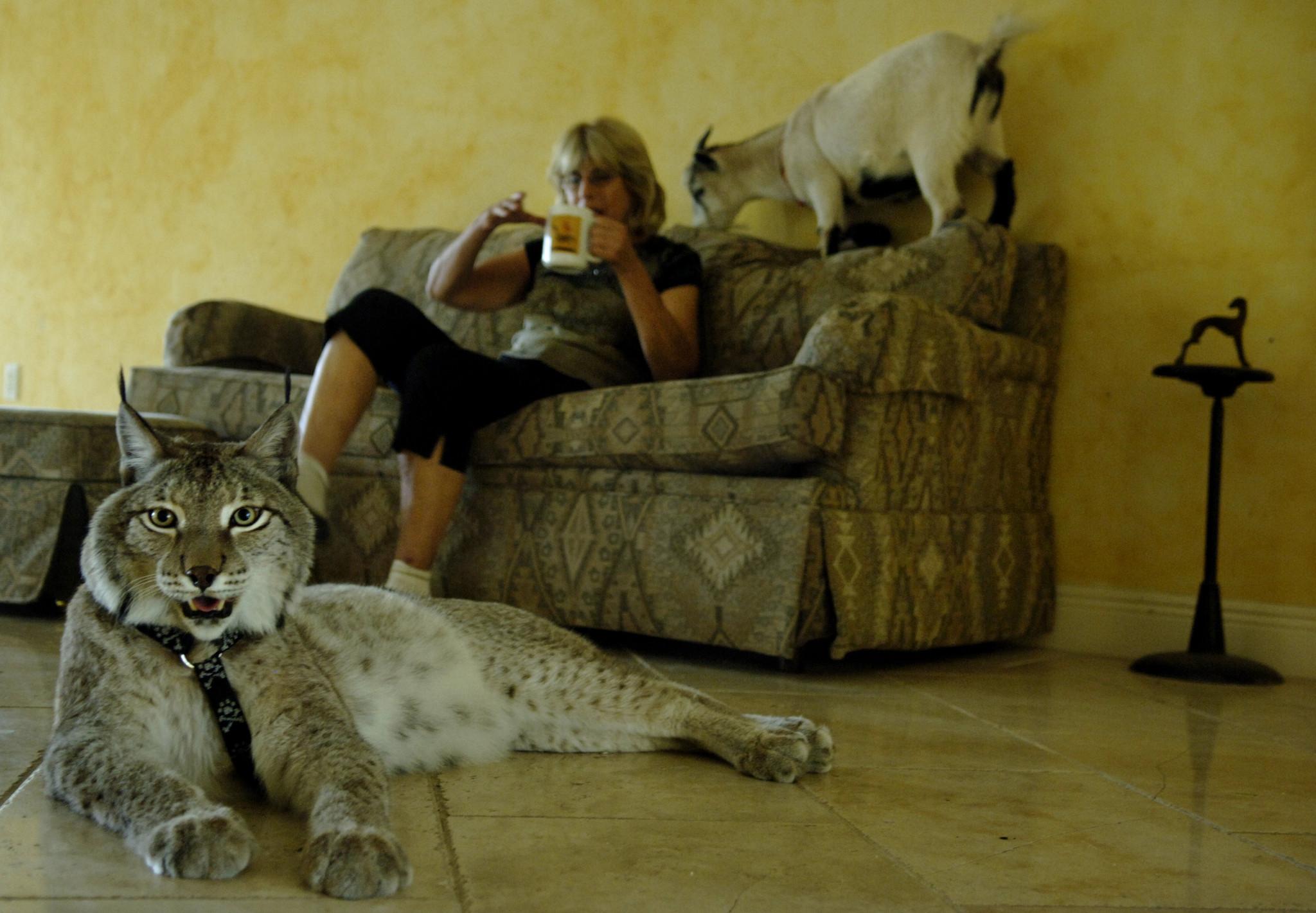 Pet Lynx Images & ...