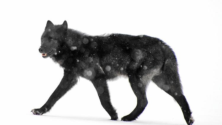 Alexander Archipelago wolf in Alaska