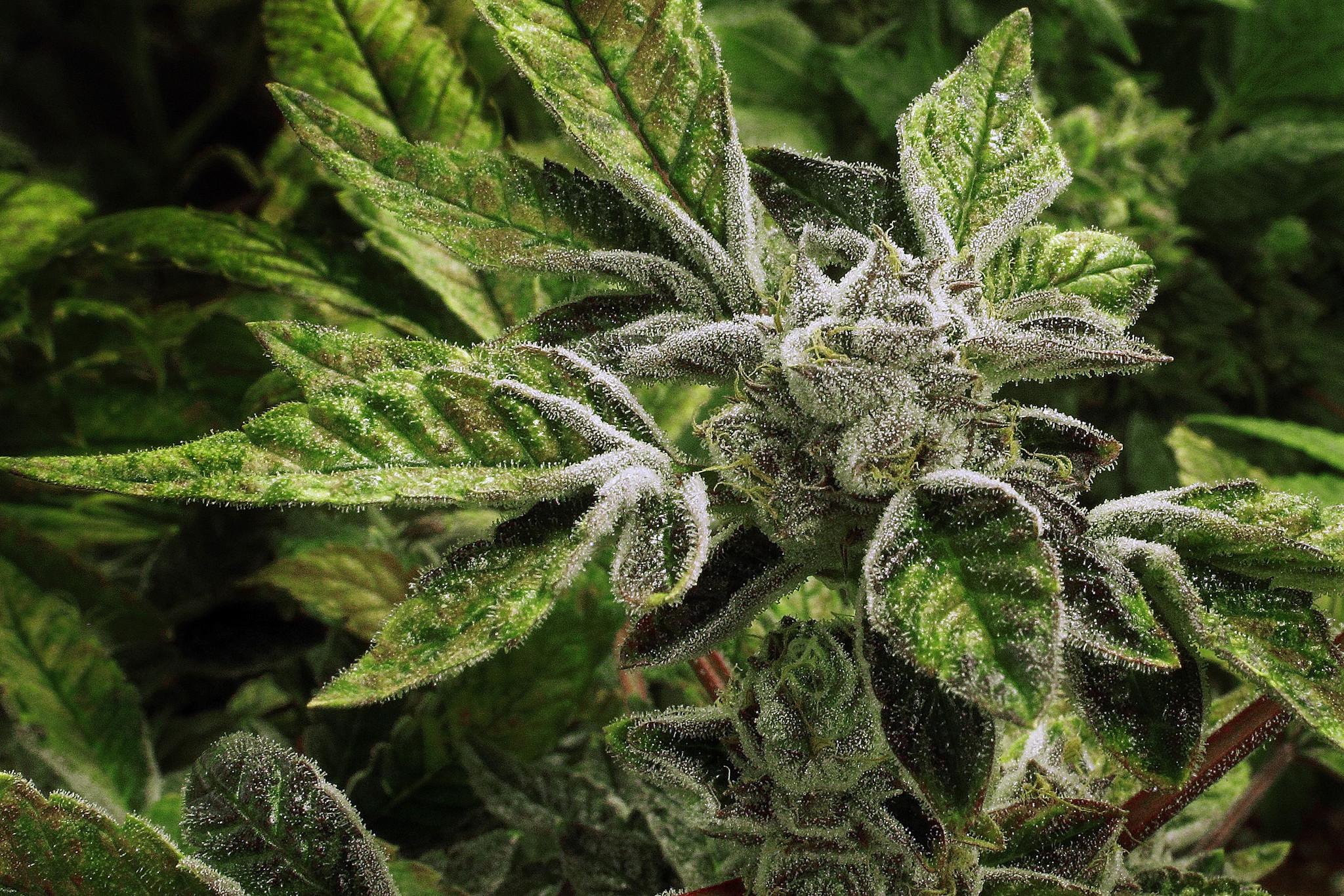 health canada application for growing marijuana