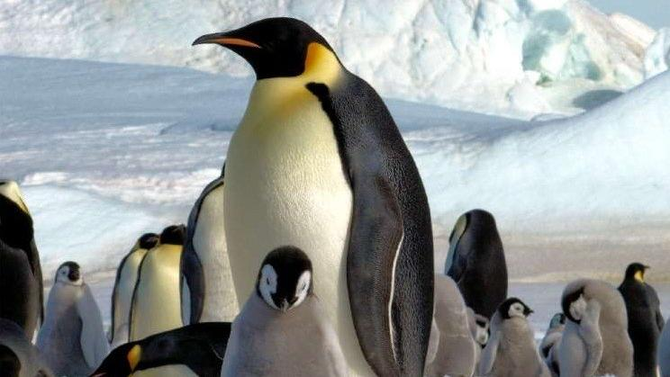 Emperor penguin feathers