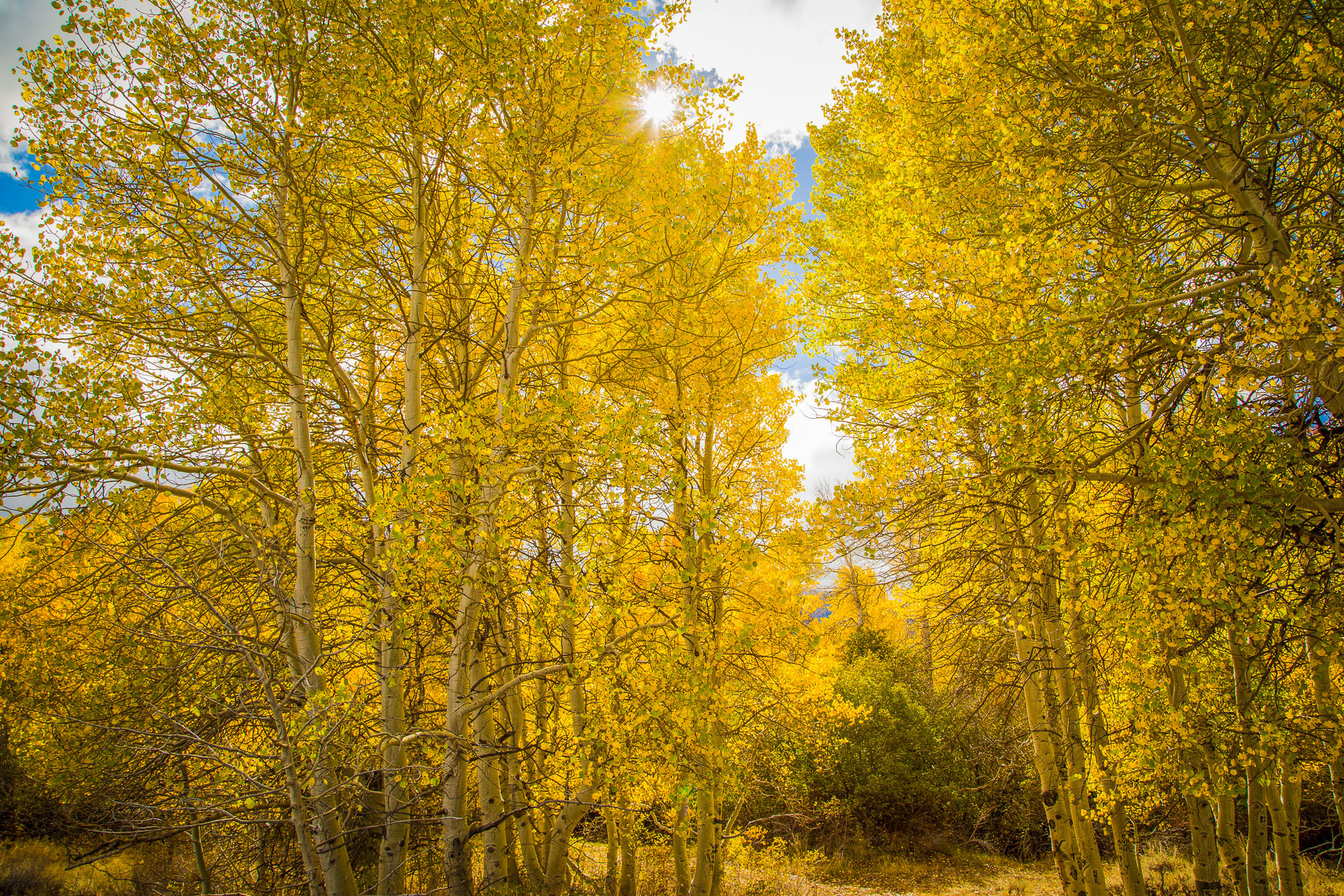 Essential Top - Aspen Fall Trees by VIDA VIDA Sale High Quality Free Shipping Real Visit New For Sale Wa73D5yjrj