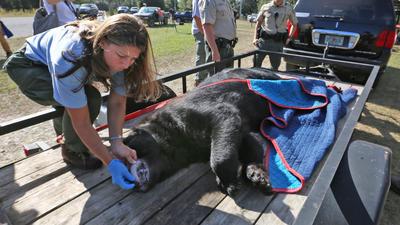 Florida's 2015 bear hunting season starts