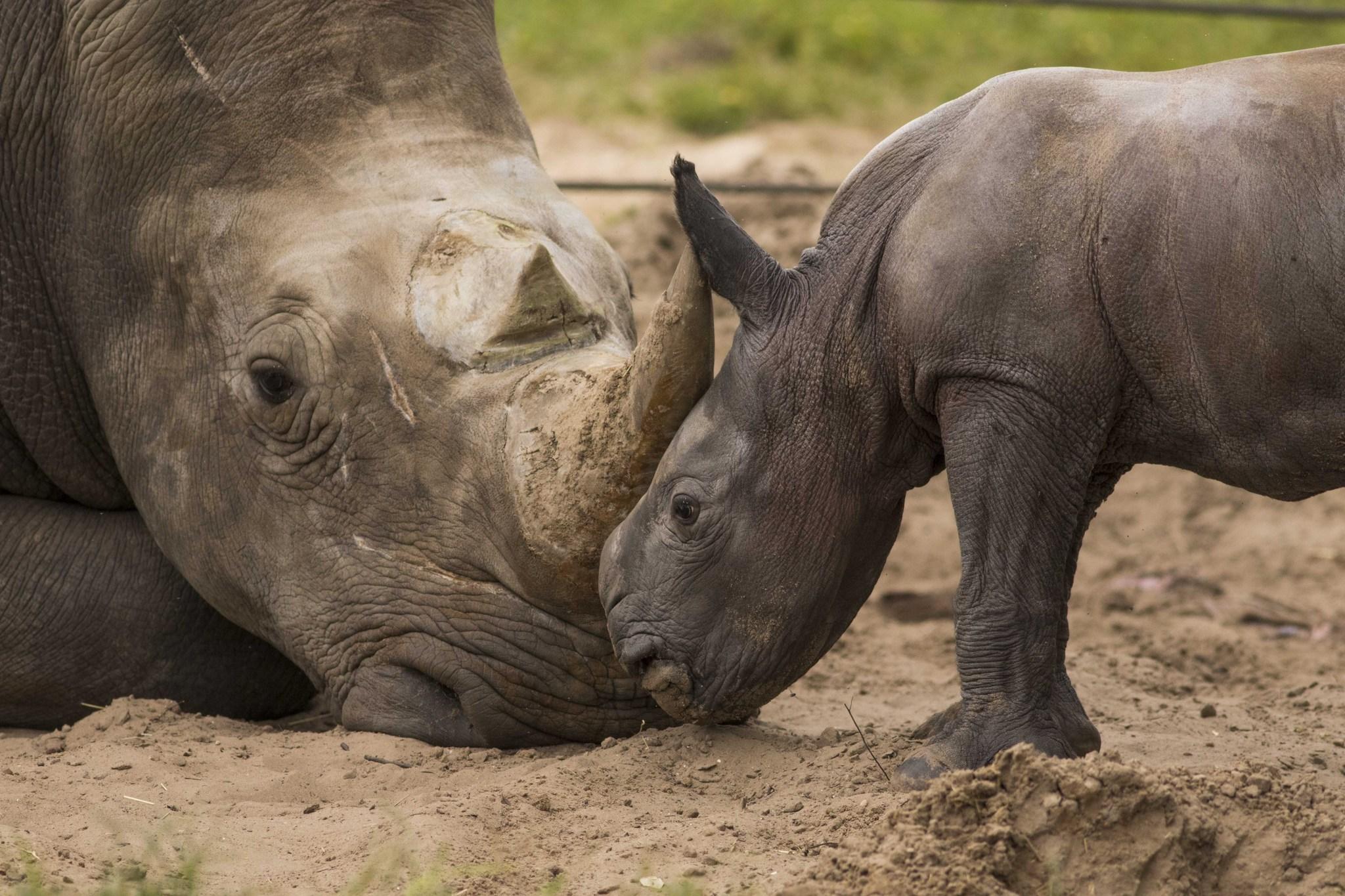Busch Gardens: Help name baby rhino - Orlando Sentinel