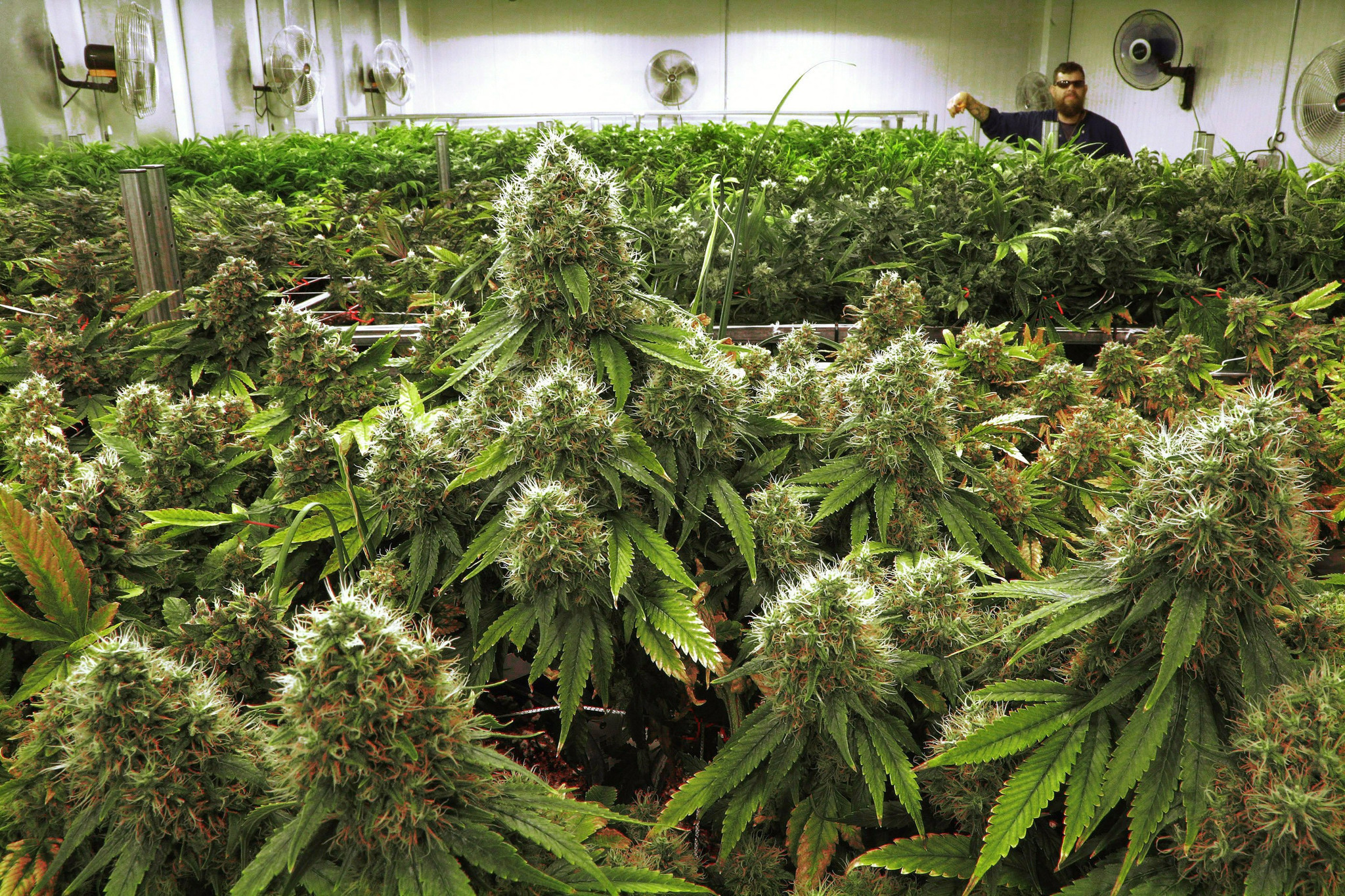 Illinois growers get green light to ship marijuana to for Cannabis plantation interieur