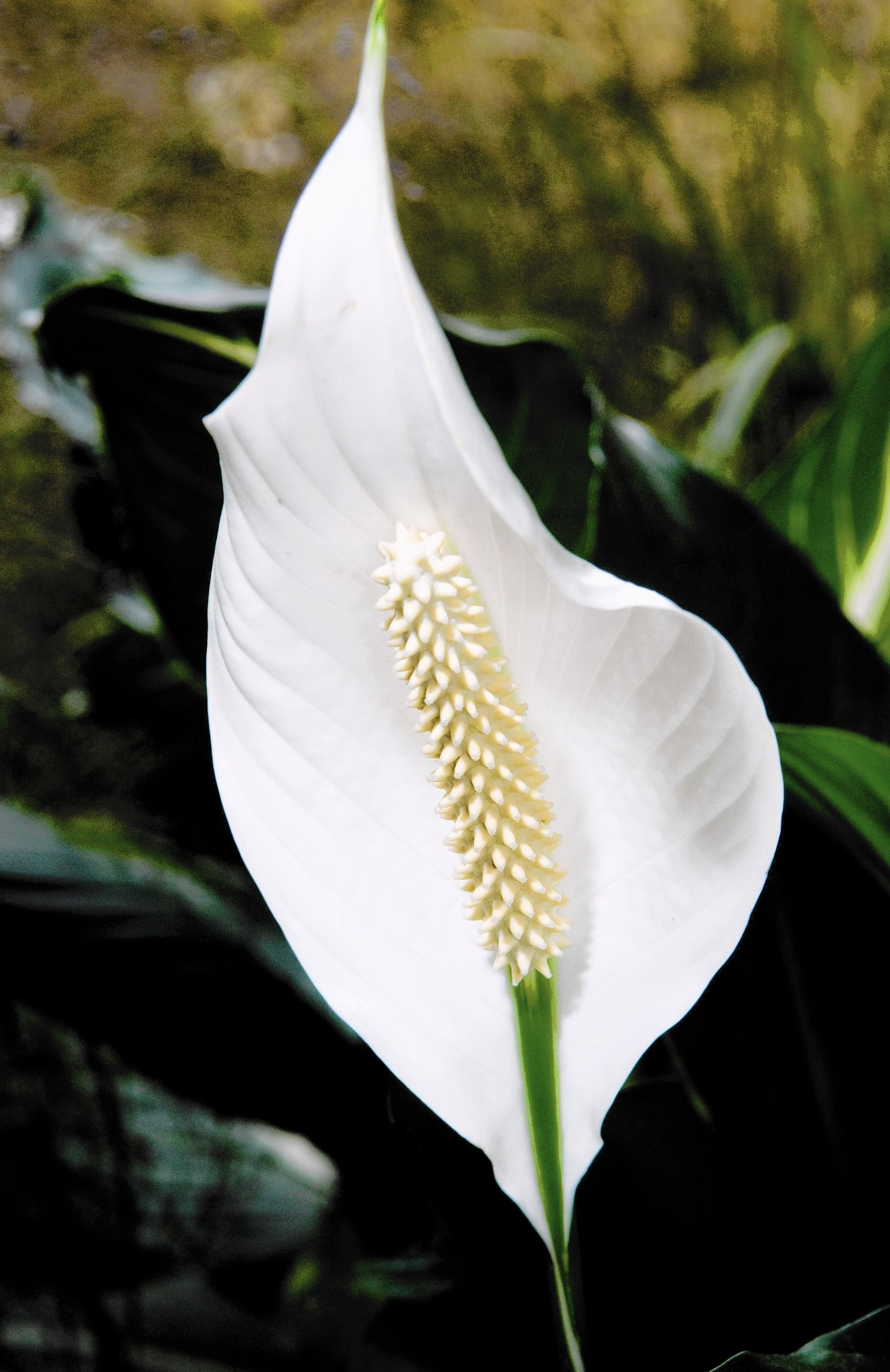 Bringing Peace Lily Back To Health Requires Attention To Its Growing