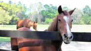 Florida Animal Attraction Guide: Retirement Home for Horses at Mill Creek Farm, Alachua