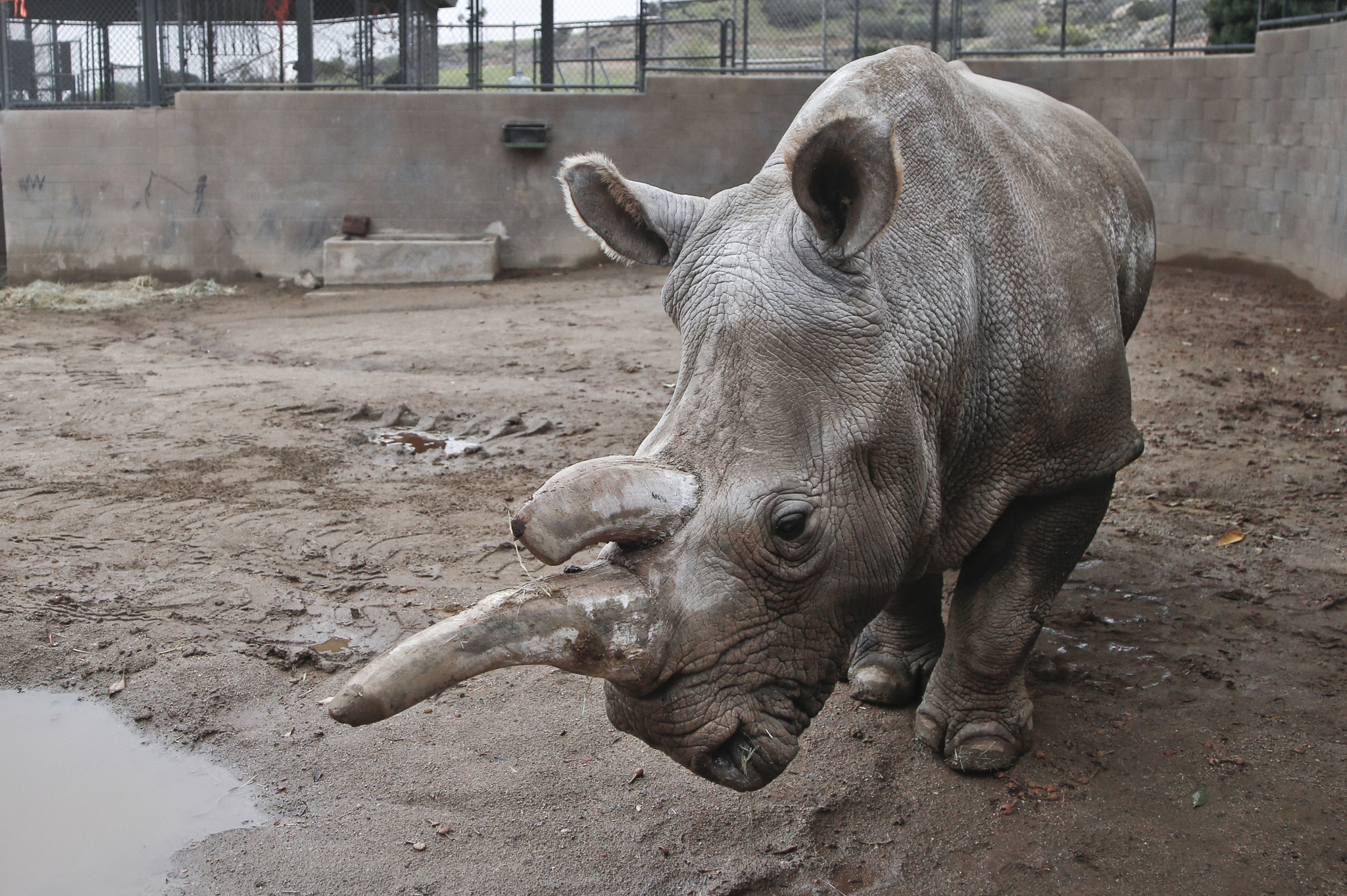 One of last 4 northern white rhinos on Earth is euthanized