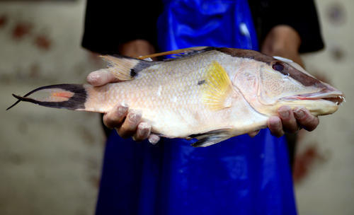 Global warming could bring more seafood borne illnesses for Ciguatera fish poisoning
